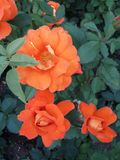 Iva. Beautiful orange roses from the garden stock images