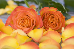Beautiful orange roses with petals Royalty Free Stock Photos