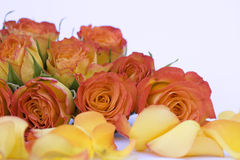 Beautiful orange roses on white background Stock Images