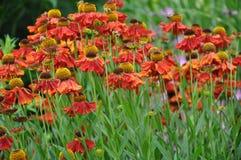 Orange rudbeckia flowers garden royalty free stock photos