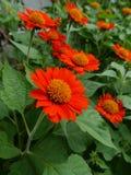 Beautiful orange sun flower Royalty Free Stock Images