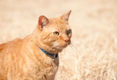 Beautiful orange tabby cat Royalty Free Stock Photography