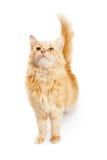 Beautiful Orange Tabby Cat Looking Up Stock Photography