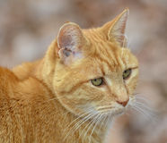 Beautiful Orange Tabby Cat. Portrait of an orange Tabby cat staring off into the distance royalty free stock photos