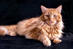 Beautiful orange tabby cat posing on a black back ground royalty free stock photography