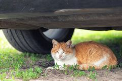 Beautiful orange tabby cat sleeping on ground under car on summer day. Danger of being hit by car at start.  royalty free stock images