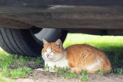 Beautiful orange tabby cat sleeping on ground under car on summer day. Danger of being hit by car at start. Animal pet cute eye mammal looking young kitten stock photography