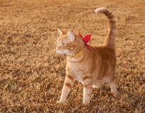 Beautiful orange tabby kitty cat on fall grass Stock Photography
