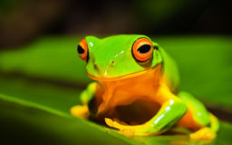Beautiful Orange thighed green tree frog stock photo