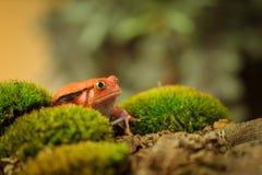 Madagascar tomato frog Royalty Free Stock Photos