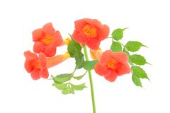 Beautiful orange trumpet flower isolated on a white Stock Photography