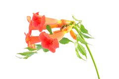 Beautiful orange trumpet flower isolated on a white Stock Images