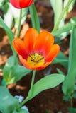 Beautiful orange tulip. Stock Photo