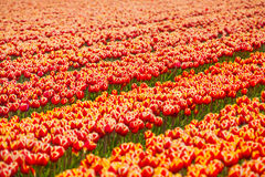 Beautiful orange tulip field rows during sunny day Royalty Free Stock Photos