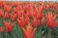 beautiful orange tulip royalty free stock photos
