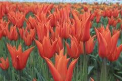 Beautiful orange tulip. Flowers in the field royalty free stock photos