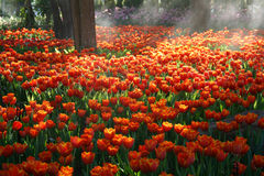 Beautiful orange Tulip flowers in a garden with sunlight Stock Images