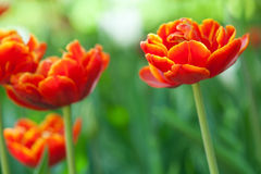Beautiful orange tulips on blurred green background. spring flower macro view. shallow depth of field, soft focus. Beautiful orange tulips on blurred green Royalty Free Stock Photography
