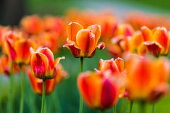 Beautiful orange tulips. Couples of orange tulips with one tulip in the middle Royalty Free Stock Photography