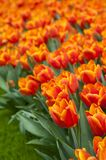 Beautiful orange tulips Stock Photography