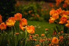 Beautiful orange tulips flower field Stock Photo