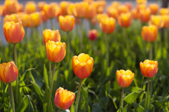 Beautiful orange tulips Royalty Free Stock Photo
