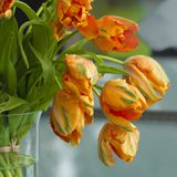 Orange tulips, french orange tulips, gorgeous tulips Royalty Free Stock Photography