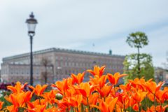 Beautiful orange Tulips in spring May day in Stockholm with the royal swedish palace in the background. 1 stock photo
