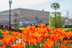 Beautiful orange Tulips in spring May day in Stockholm with the royal swedish palace in the background. 1 stock image