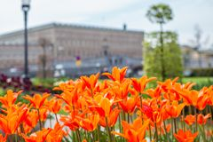Beautiful orange Tulips in spring May day in Stockholm with the royal swedish palace in the background. 1 royalty free stock images