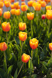 Beautiful orange tulips Royalty Free Stock Images