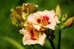 Beautiful orange varietal daylily on bed Royalty Free Stock Image