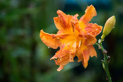 Beautiful orange varietal daylily in water drops after rain Stock Images