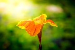 Beautiful orange Yellow canna Lily Stock Photography