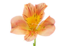 Beautiful Orange and Yellow Lily Royalty Free Stock Photos