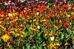 Beautiful orange, yellow, pink flowers in sunny weather in Holland stock photo