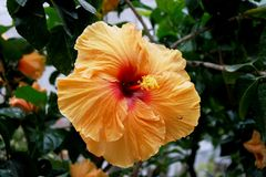 Beautiful orange/yellow/pink Hibiscus Stock Photos