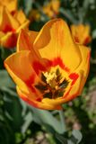 Beautiful orange and yellow tulip royalty free stock photos