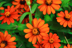 The beautiful orange zinnias Royalty Free Stock Photos