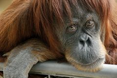 Beautiful orangutan looking into the camera Stock Images