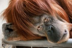 Beautiful orangutan looking into the camera. Emotionally catching portrait of a beautiful orangutan looking directly into the camera stock images