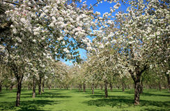Beautiful orchard in blossom Royalty Free Stock Image