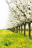 Beautiful orchard in spring white bud blossom in a green grass a. Nd yellow dandelion flower meadow royalty free stock image