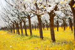 Beautiful orchard in white blossom on a yellow meadow full of br. Ight light and vibrant color as agriculture and spring bloom background Stock Image