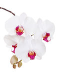 Beautiful orchid Stock Images