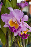 Beautiful orchid. Beautiful purple orchid of thailand Royalty Free Stock Images