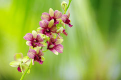 Beautiful Orchid Royalty Free Stock Photos