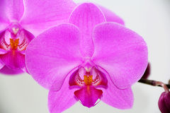 Beautiful orchid. Image of beautiful purple orchid Royalty Free Stock Photo