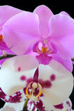 The beautiful orchid. The beautiful purple and white orchid on black background Royalty Free Stock Photos