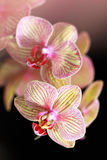 Beautiful orchid on a black background Royalty Free Stock Photography